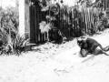 Familien Winges kat opførte sig som en hund, når den løb Herman Vinge i møde, når han kom hjem fra arbejde