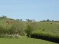 MAJ - 16. maj. Køerne kommer på græs