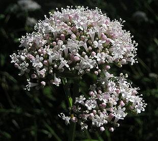 Baldrian blomst