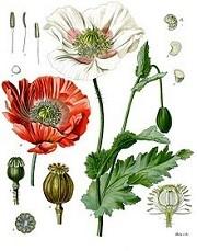 Opiumvalmue