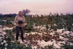 Manuel sukkerroe optagning kunne blive nødvendigt på grund af vinteren